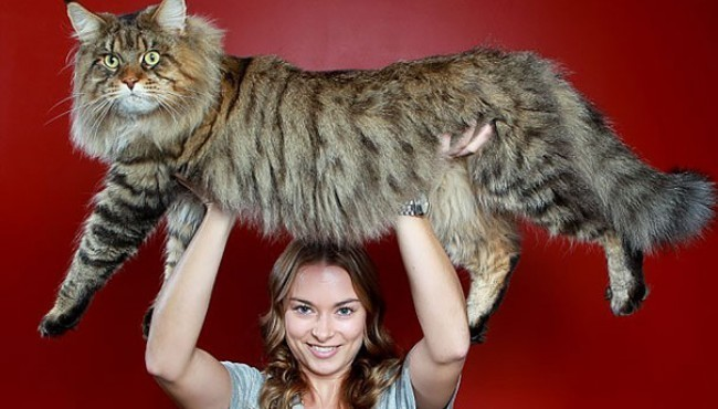 Razas de gatos gigantes