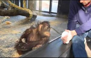 Orangutan reacciona ante un truco de magia