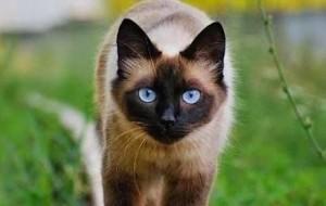 Las 10 razas de gatos más bonitas del mundo